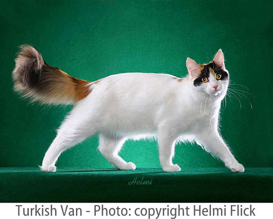 Turkish Van cat picture