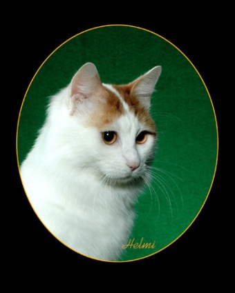 Turkish Van Cat – photo