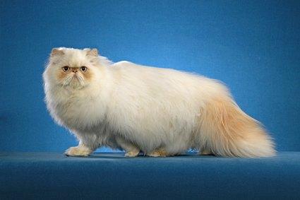 Ultra typed Himalayan cat – photo copyright Helmi Flick
