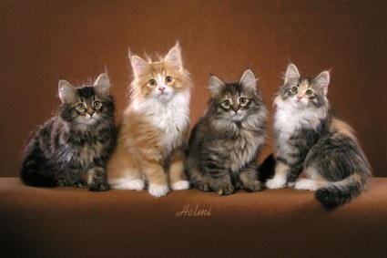 Norwegian Forest Cat Kittens For Sale Connecticut