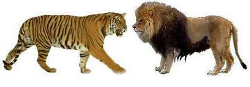lion versus tiger