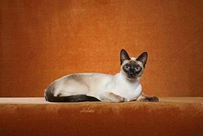 Thai Cat Traditional Siamese Cat