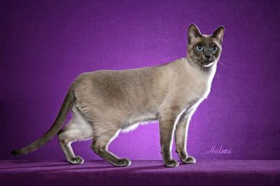 Thai Cat Traditional Classic Siamese cat