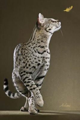 Motzie - a special Savannah cat - photo copyright Helmi Flick