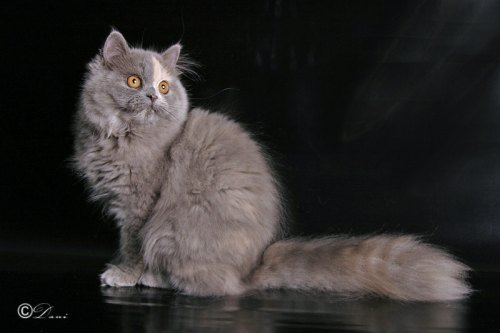 Persian cats