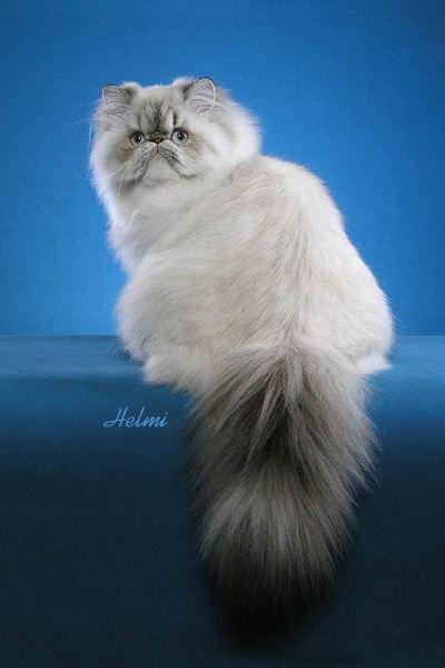Best Cat Breed Ragdoll