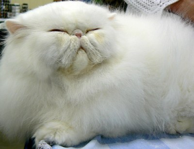 Persian cat health