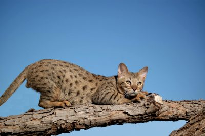 Savannah cat - pictures of cats