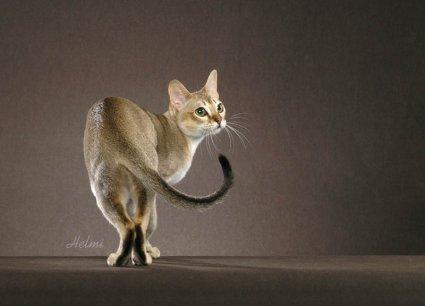 Singapura Cat Poc
