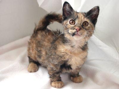 Skookum cat - Prix chat munchkin ...