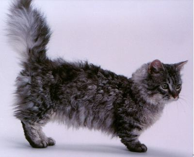 Skookum Cat Breed