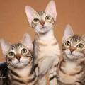 sokoke cat