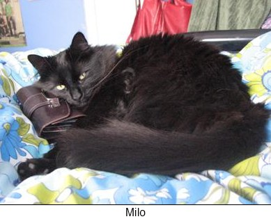 Tiffany cat Milo