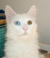 turkish-angora-cat-odd-eyed