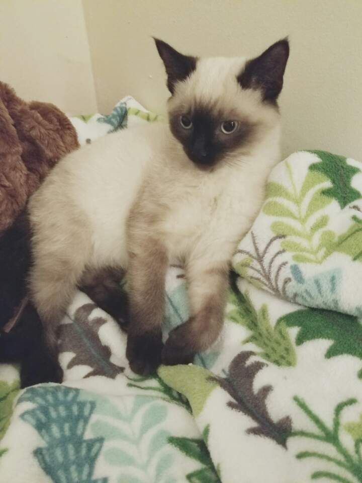 Change of Eye Color in a Siamese Cat - PoC